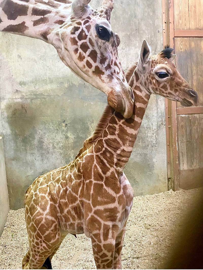 The Memphis Zoo announced the addition of their newest member, Ja Raffe.