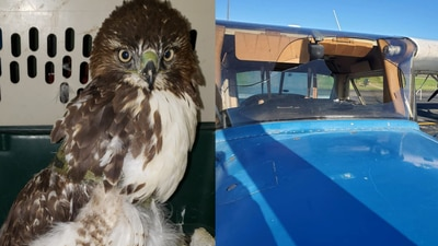 PHOTOS: Red Tail Hawk slams into plane windshield during student's flight
